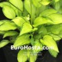 Hosta Green With Envy - Eurohosta