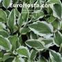 Hosta Ground Master - Eurohosta
