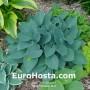 Hosta Hadspen Blue - Eurohosta