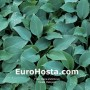 Hosta Halcyon - Eurohosta