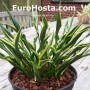 Hosta Hands Up - Eurohosta