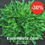 Hosta Harry van Trier - Eurohosta