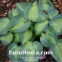 Hosta Heat Wave - Eurohosta