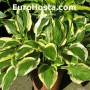Hosta Hertha