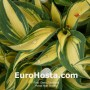Hosta High Society - Eurohosta