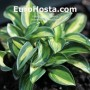 Hosta Holy Mouse Ears - Eurohosta