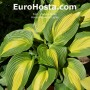 Hosta Hollywoods Lights - Eurohosta