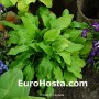 Hosta Honeybells - Eurohosta