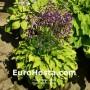 Hosta Hydon Sunset - Eurohosta