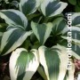 Hosta Ice Follies - Eurohosta