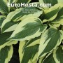 Hosta Ice Follies