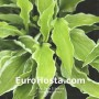 Hosta Iced Lemon - Eurohosta