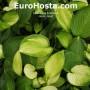 Hosta Janet - Eurohosta