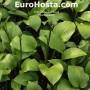 Hosta Joseph - Eurohosta