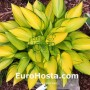 Hosta June Fever - Eurohosta