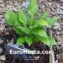 Hosta June Spirit - Eurohosta