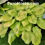 Hosta Kiwi Gold Rush