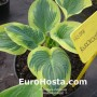 Hosta Knockout - Eurohosta
