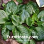 Hosta Lakeside Black Satin - Eurohosta