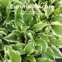 Hosta Lakeside Kaleidoscope - Eurohosta