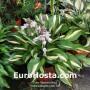 Hosta Lakeside Little Tuft - Eurohosta