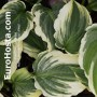 Hosta Lakeside Prophecy Fulfilled