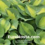 Hosta Lakeside Shore Master - Eurohosta