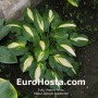 Hosta Lakeside Spellbinder