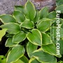 Hosta Lakeside Zesty Zeno