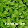 Hosta Lancifolia - Eurohosta
