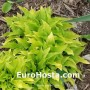 Hosta Lemon Lime - Eurohosta