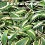 Hosta Little Treasure - Eurohosta
