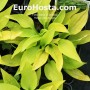 Hosta Little Aurora - Eurohosta