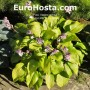 Hosta Little Black Scape