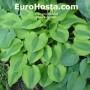 Hosta Luna Moth - Eurohosta