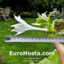 Hosta Ming Treasure
