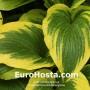 Hosta Montana Aureomarginata - Eurohosta