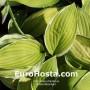 Hosta Moonlight - Eurohosta