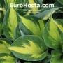 Hosta 'Morning Star' - Eurohosta