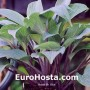 hosta mr blue eurohosta