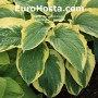 Hosta Northern Exposure - Eurohosta