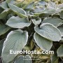 Hosta Northern Halo - Eurohosta