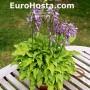 Hosta Bonsai - Eurohosta
