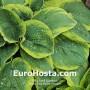 Hosta Olive Bailey Langdon - Eurohosta