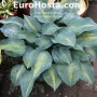 Hosta Olympic Sunrise