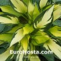 Hosta Orange Star - Eurohosta