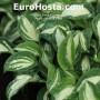 Hosta Pandora's Box - Eurohosta