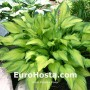 Hosta Paradise Power - Eurohosta