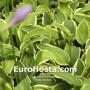 Hosta Patrician - Eurohosta