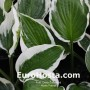 Hosta Patriot - Eurohosta